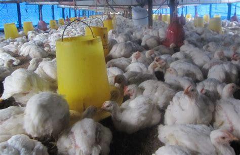 Bibit Ayam Pedaging Per Ekor usaha bibit ayam pedaging harga ayam potong