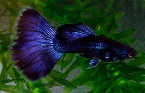 Guppy Blue Moscow Promo joe s aquaworld for fishes mumbai india 9833898901