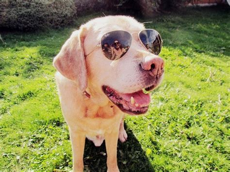 puppies wearing sunglasses wearing sunglasses dogs with sunglasses