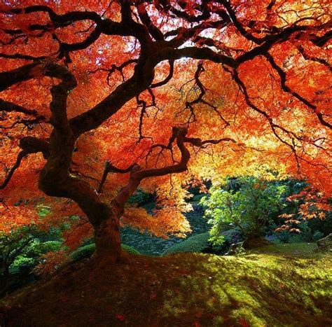 japanese maple tree beautiful color trees bonsai and