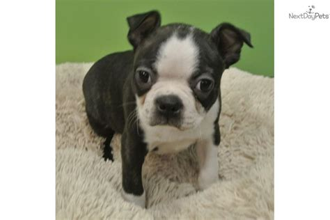 boston terrier puppies florida boston terrier puppies for sale breeds picture