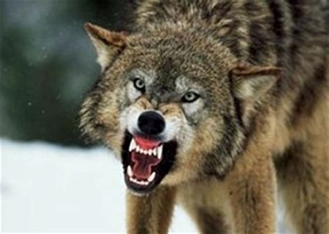 wolf breeds list michigan wolves removed from endangered species list wolf management plan in effect