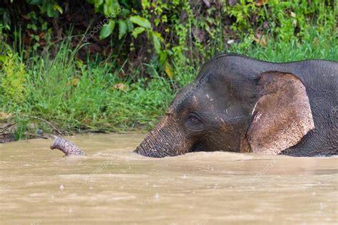 Borneo Pygmy Elephant — Stock Photo © natursports #23182340