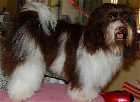 brown havanese puppies chocolate havanese chocolate havanese puppy chocolate havanese puppies