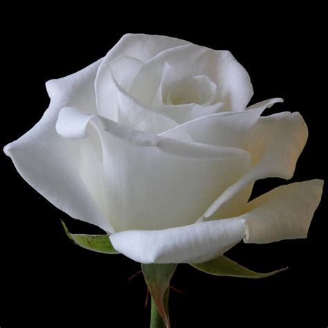 White Roses by Day Pics Hd Images Status Roses Are