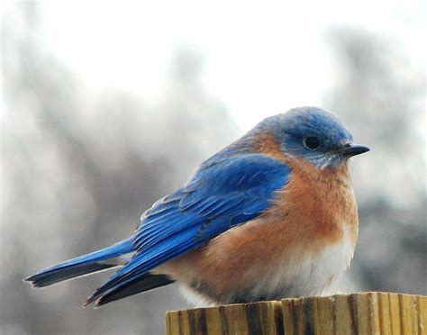 file male eastern bluebird from below jpg wikimedia commons