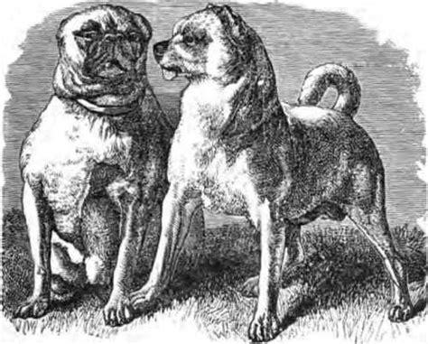 pair of pugs the pug