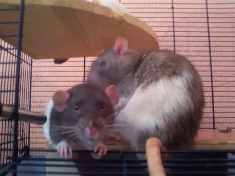 meerschweinchen gegen ratten 3728 meerschweinchen gegen ratten maqi f r tierrechte gegen