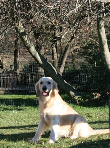 charis golden retrievers maggie s tales speed of sound quot quot i miei cani allevamento maggie s tales golden