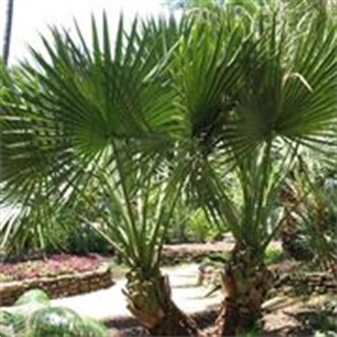 palme da giardino prezzi palma pianta piante da giardino caratteristiche della