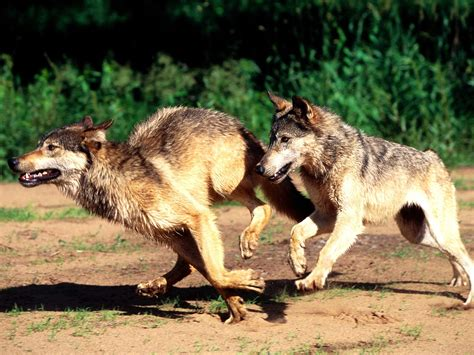 of a wolf wolf delisting lawsuit howling for justice
