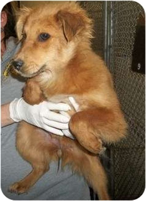 golden retriever island ny adopted puppy staten island ny golden retriever border collie mix