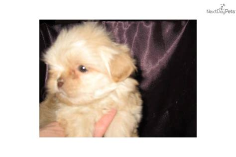 apricot shih tzu meet a shih tzu puppy for sale for 1 000 sold sold sold apricot