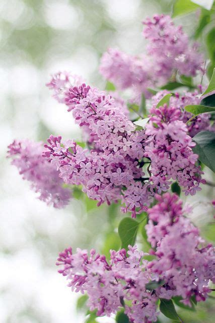 pretty in pink and purple on pinterest lilacs lilacs spring and lilac flowers on pinterest