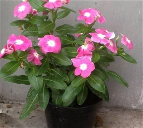 Pupuk Untuk Bunga Tapak Dara cara merawat tanaman hias bunga tapak dara tanaman hias