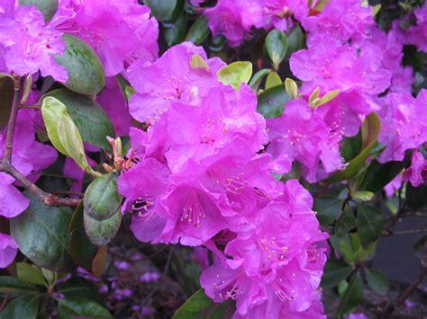patio rhododendron huntersgardencentre 187 rhododendron