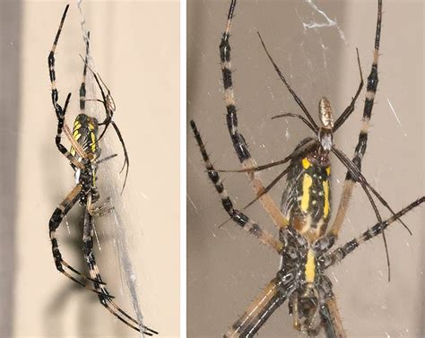 Black And Yellow Garden Spider Kill Approach With Care A Naturalist S Journal