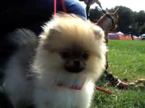 min pin pomeranian adorable pomeranian puppy miniature pinscher