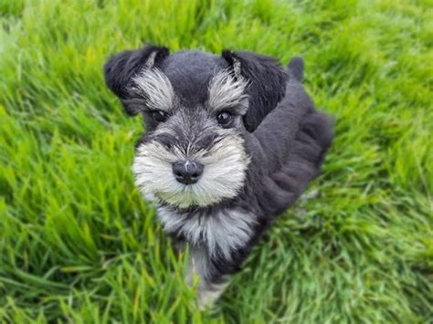 how to give a miniature schnauzer puppy a first haircut ehow trained miniature schnauzer puppy so cute youtube