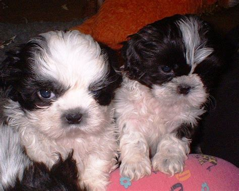 Quality Purebred Shih Tzu Puppies Mold Clwyd Pets4homes
