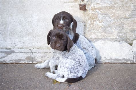 german wirehair puppies german wirehaired pointer puppies german wirehaired