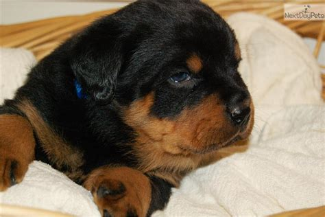 rottweilers for sale near me rottweiler puppy for sale near harrisburg pennsylvania 6e72fff2 8b21