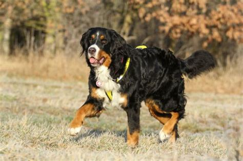 bernese mountain dogs puppies dog breeds