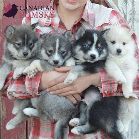 mini husky puppies miniature siberian husky canadian pomsky
