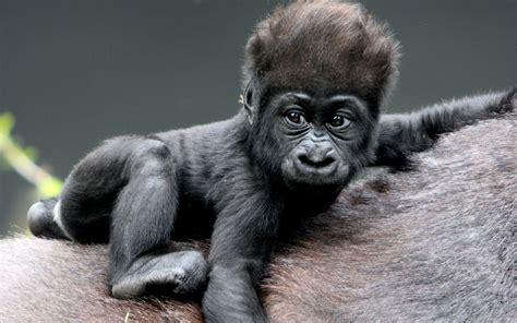MONKEY BABY gorillas HAIR wallpaper | 1920x1200 | 70734 ...