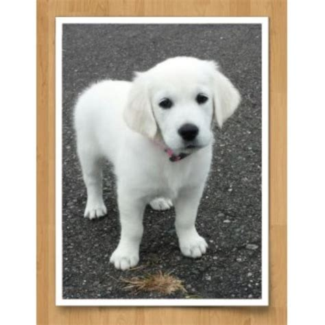 golden retriever mn breeders mapleleaf goldens golden retriever breeder in big lake