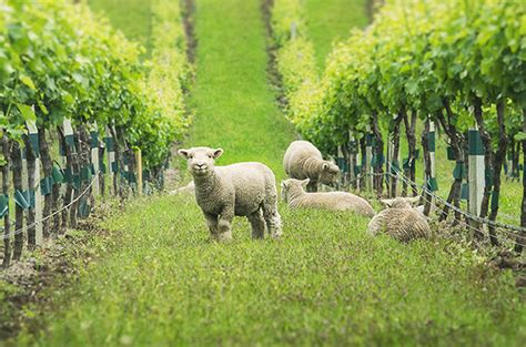 gallery vineyard animals  helpers decanter