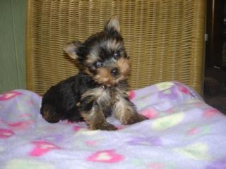 yorkies for sale indianapolis yorkie puppiestcup for sale noblesville for sale indianapolis pets dogs