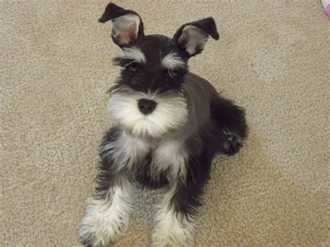 pictures of schnauzer puppies see quot available puppies quot page for pictures of new puppies needing homes