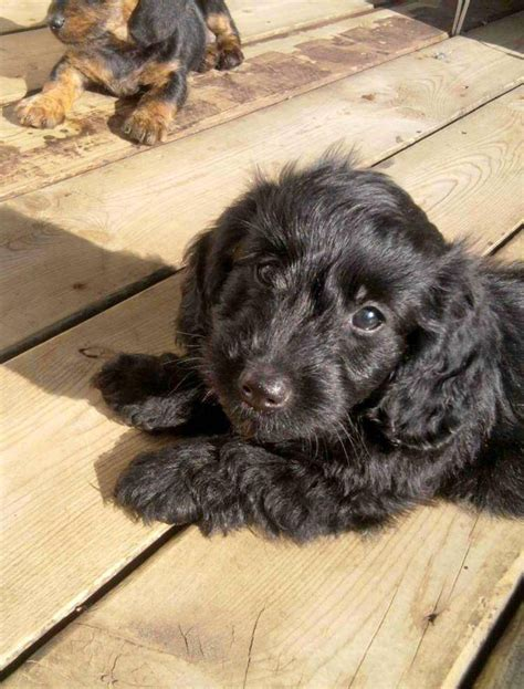 mut puppies doxiepoo dachshund poodle mix facts temperament puppies pictures