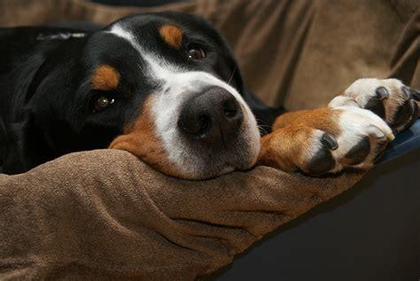 cani da appartamento consigli cani da appartamento 6 consigli utili
