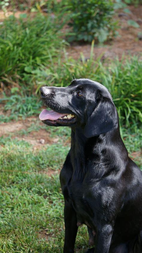 akc lab puppies for sale near me black labrador retriever for sale chocolate lab