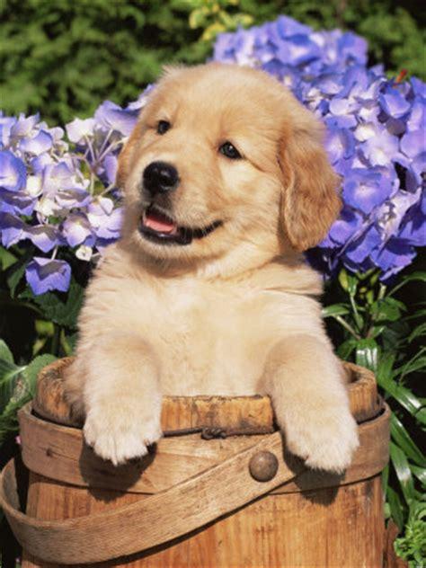 golden retriever puppy characteristics goldens retrievers golden retriever puppies images