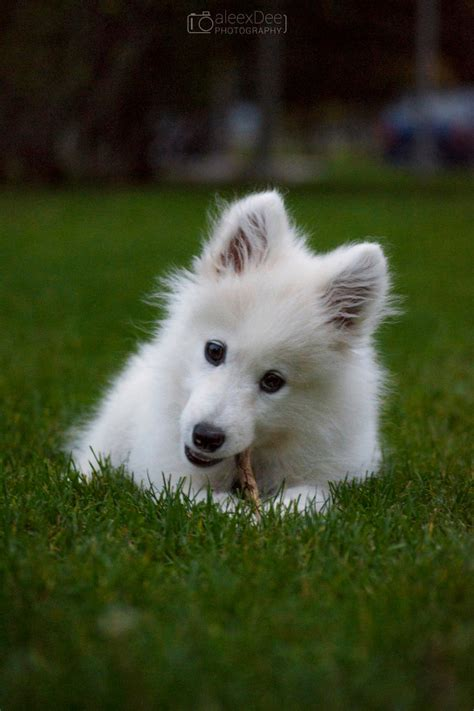 my female semoyed dog is not eating oooo and she is pregnant pets nigeria samoyed the cutest dog ever by aleexdee on deviantart