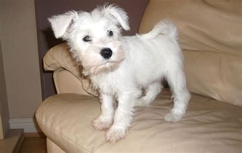 white schnauzer puppies ready now stunning white kc reg boy puppy peterborough cambridgeshire pets4homes