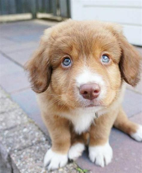 duck tolling retriever puppies for sale scotia duck tolling retriever puppies for sale scotia duck tolling