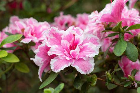 primavera fiori i fiori pi 249 belli per chi ha il pollice verde donnad