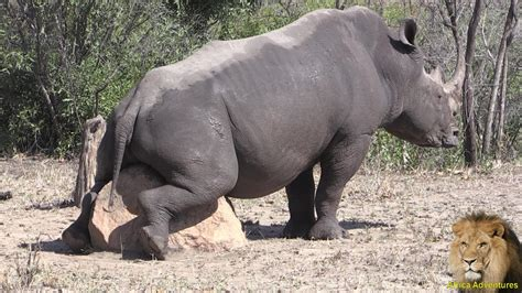 with mating rhino mating with a rock