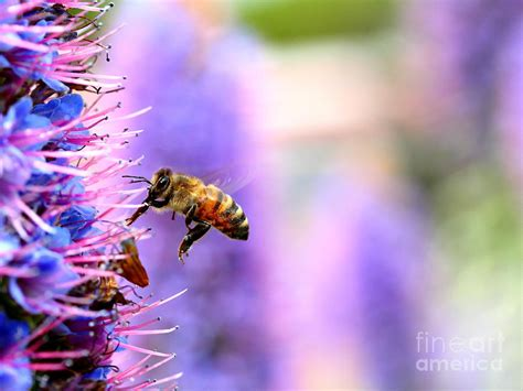 purple flower with bee wallpaper desktop flying bee on purple pride of madeira flowers 7d14852