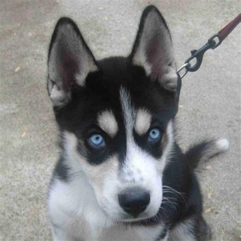 husky puppy names one of the most popular dogs the golden retriever is a loyal gentle breeds picture
