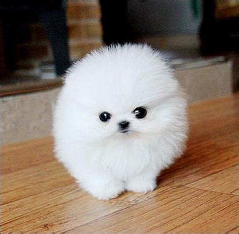 pomeranian puppies white the world s catalog of ideas