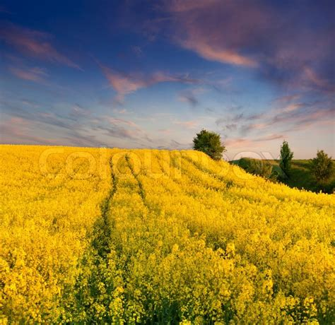 Yellow Landscape Pictures Summer Landscape With A Field Of Yellow Flowers Sunset