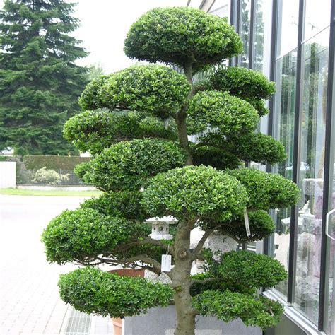 japanese topiary trees ilex crenata 1 80 m verplaatsen
