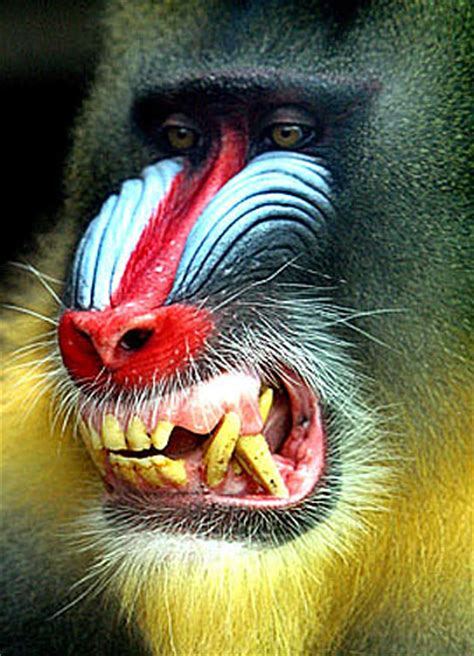 mandrill  largest   colorful   monkeys animal pictures  facts factzoocom
