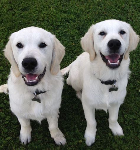 golden retrievers for sale uk 2 golden retrievers for sale solihull west midlands pets4homes