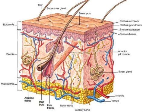 skin layers diagram anatomy mrs dodson s science site